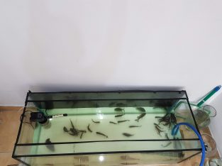 26 Red Belly Pacu