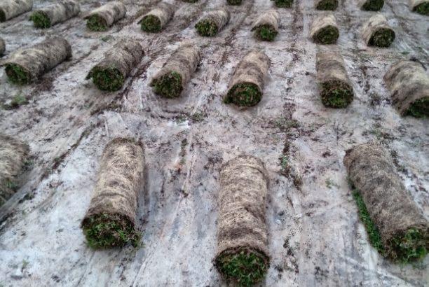 Malaysian Australian carpet Grass