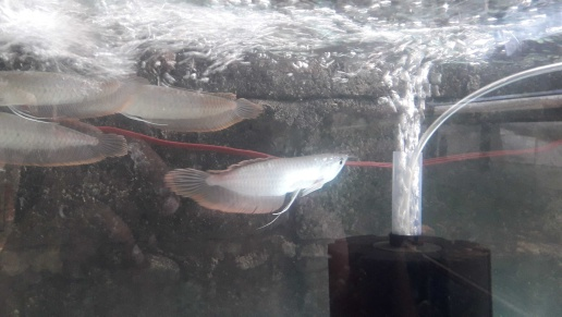 arowana fish 7,8 inch sizelocation wattalacall me for details