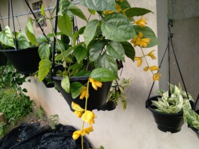 Golden bell hanging pots